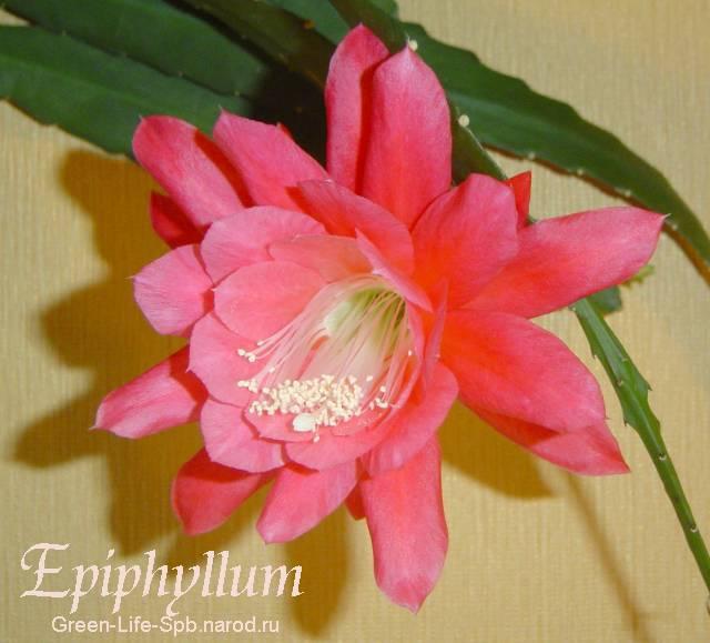эпифиллюм