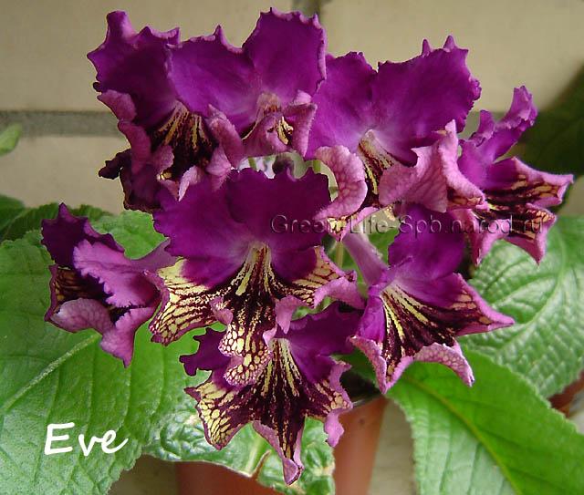 Комнатная мимоза цветок фото