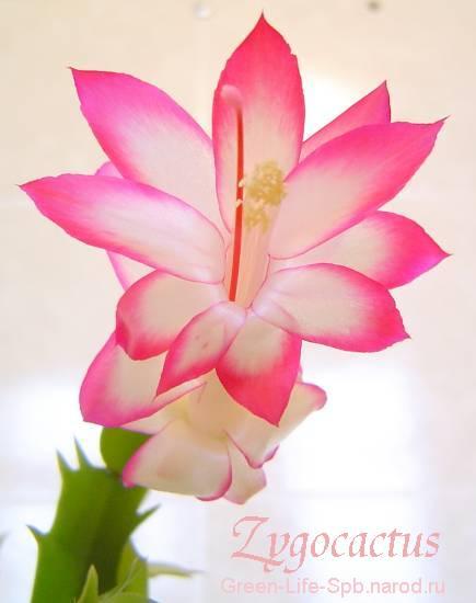 Цветок антуриум  грация и оригинальность виды уход и